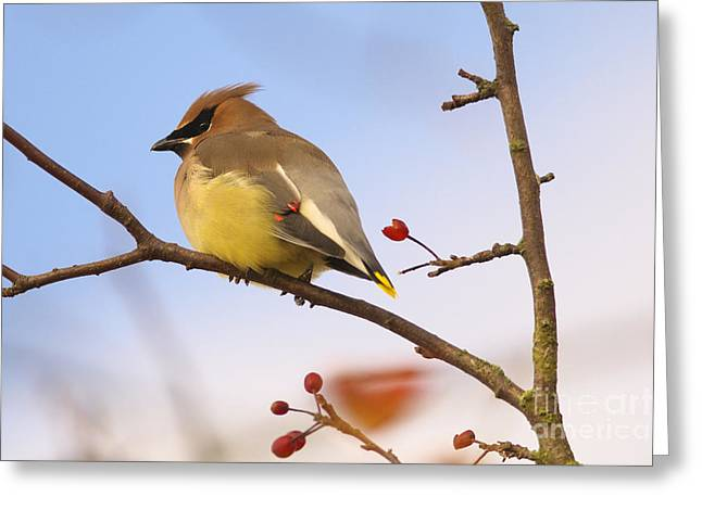 Cedar Waxwing Greeting Cards - Cedar Waxwing  Greeting Card by Sharon  Talson