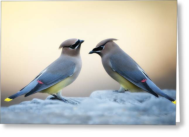 Cedar Waxwing Greeting Cards - Cedar Waxwings Greeting Card by Bonnie Barry