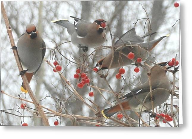 Feeding Birds Pyrography Greeting Cards - Cedar Waxwings Greeting Card by Johann Busch
