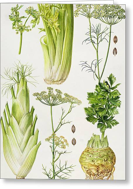 Roots Paintings Greeting Cards - Celery - Fennel - Dill and Celeriac  Greeting Card by Elizabeth Rice