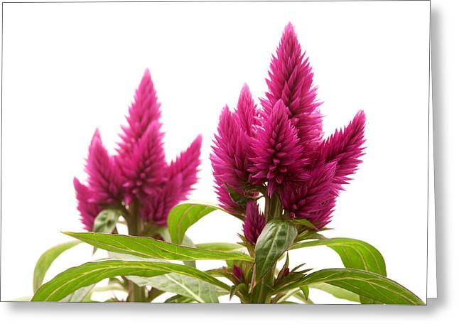 Ornamental Plants Greeting Cards - Celosia argentea Greeting Card by Fabrizio Troiani