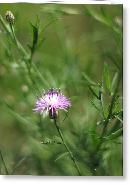 Invasive Species Greeting Cards - Centaurea Maculosa Spotted Knapweed Greeting Card by Rebecca Sherman