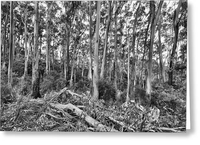 Gumtree Greeting Cards - Center of the Forest V4 Greeting Card by Douglas Barnard