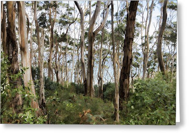 Gumtree Greeting Cards - Center of the Forest V5 Greeting Card by Douglas Barnard