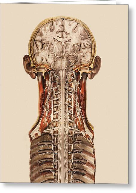 Cns Greeting Cards - Central Nervous System Anatomy Greeting Card by Mehau Kulyk
