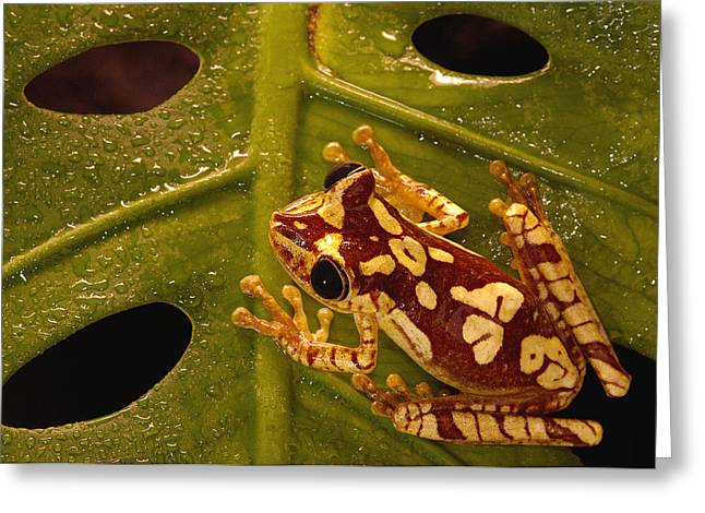 Tree Frog Greeting Cards - Chachi Tree Frog Hyla Picturata Adult Greeting Card by Pete Oxford