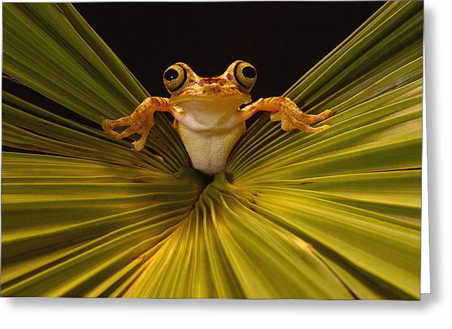 Tree Frog Greeting Cards - Chachi Tree Frog Hyla Picturata, Choco Greeting Card by Pete Oxford