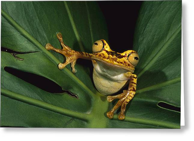 Three-quarter Length Greeting Cards - Chachi Tree Frog Hyla Picturata Greeting Card by Pete Oxford