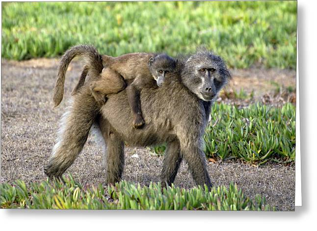 Caring Mother Greeting Cards - Chacma Baboon Mother And Young Greeting Card by Peter Chadwick