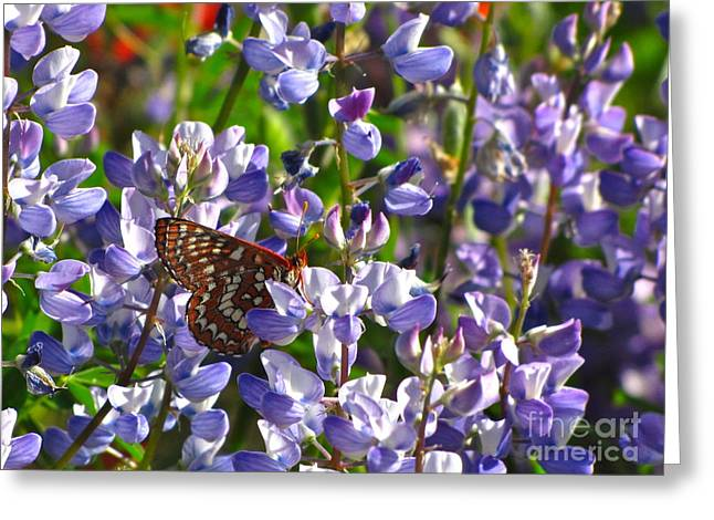 Chalcedon Checkerspot Amid Prairie Lupin Greeting Card by Sean Griffin