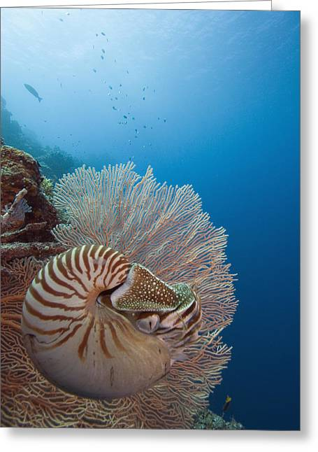 Reef Photos Greeting Cards - Chambered Nautilus Greeting Card by Dave Fleetham - Printscapes