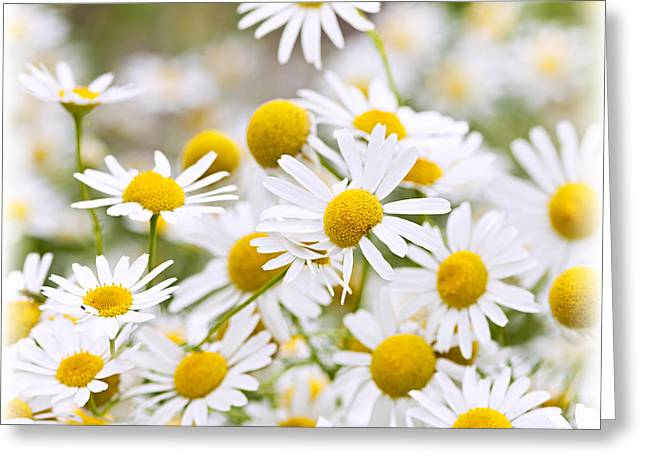 Flower Blossom Greeting Cards - Chamomile flowers Greeting Card by Elena Elisseeva