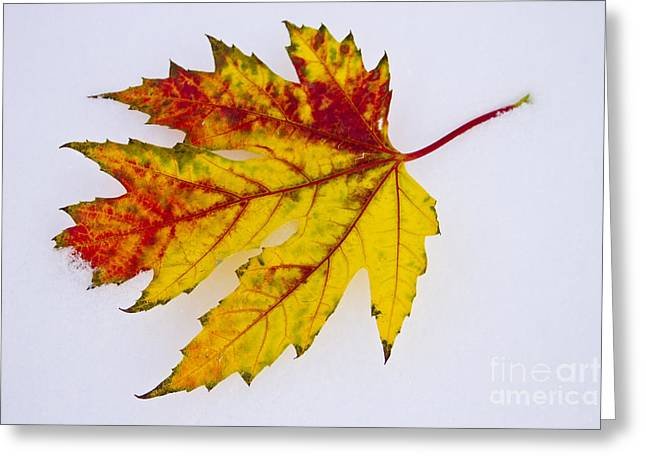 Changing Autumn Leaf In The Snow Greeting Card by James BO  Insogna