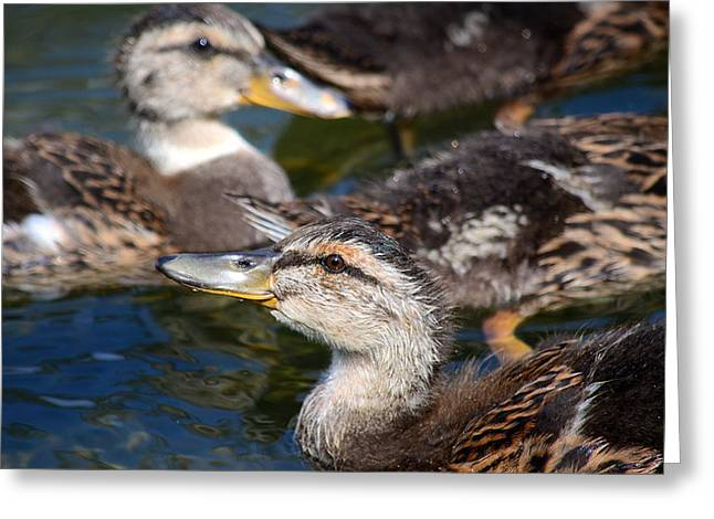 Mallard Ducklings Greeting Cards - Changing Directions Greeting Card by Fraida Gutovich