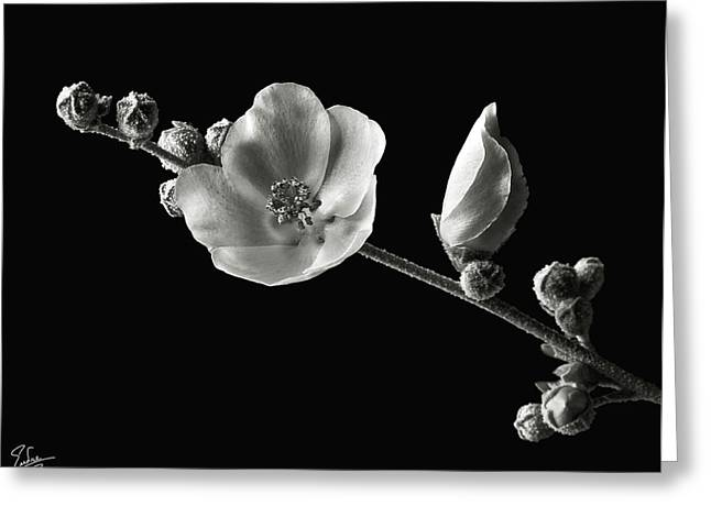 Flower Photos Greeting Cards - Chaparral Mallow in Black and White Greeting Card by Endre Balogh
