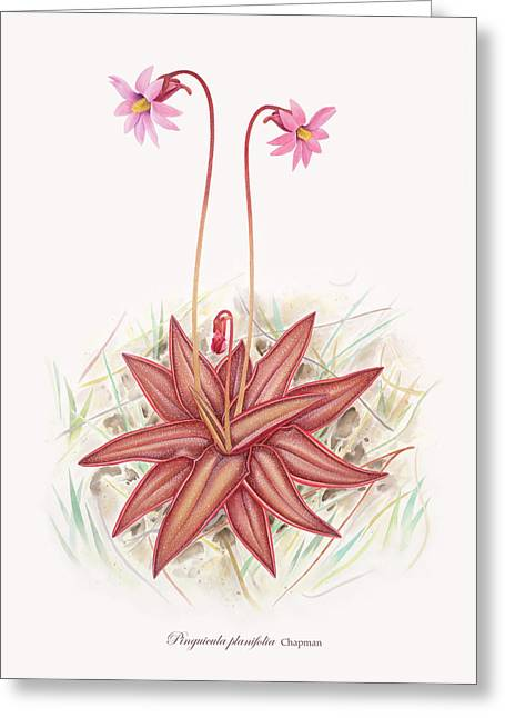 Flower Design Drawings Greeting Cards - Chapmans Butterwort Greeting Card by Scott Bennett