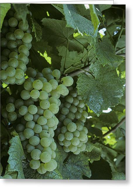 Grape Vineyards Greeting Cards - Chardonnay Grapes On The Vine Greeting Card by Kenneth Garrett