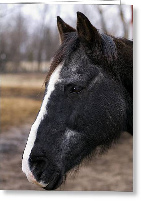 Quarter Horses Greeting Cards - Charlie Head Study Greeting Card by Laurie With
