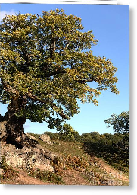 Grey Clouds Greeting Cards - Charnwood Forest Oak Greeting Card by John Edwards