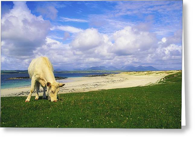 Full Body Greeting Cards - Charolais Cow, Mannin Bay, Co Galway Greeting Card by The Irish Image Collection
