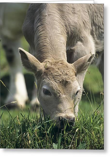 One Cow Greeting Cards - Charolais X Calf Greeting Card by David Aubrey