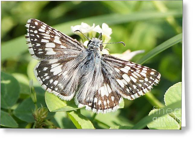 Reflections Of Infinity Llc Greeting Cards - Checkered Skipper on Clover 1 Greeting Card by Robert E Alter Reflections of Infinity
