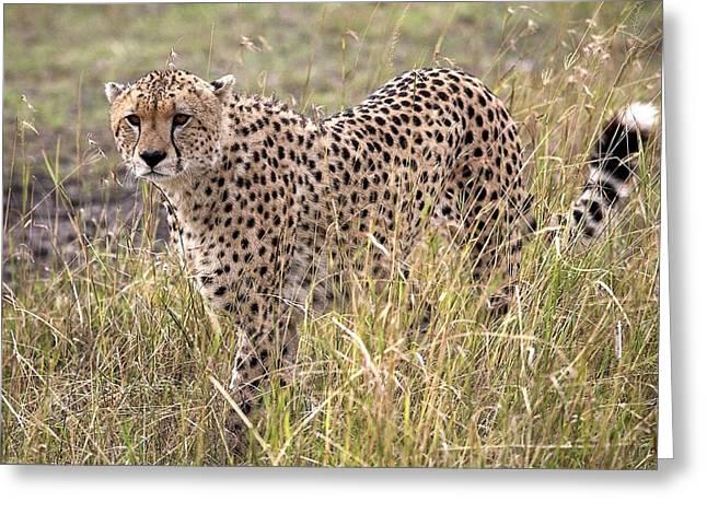 Cheetah Acinonyx Jubatus, Masai Mara Greeting Card by Chris Upton