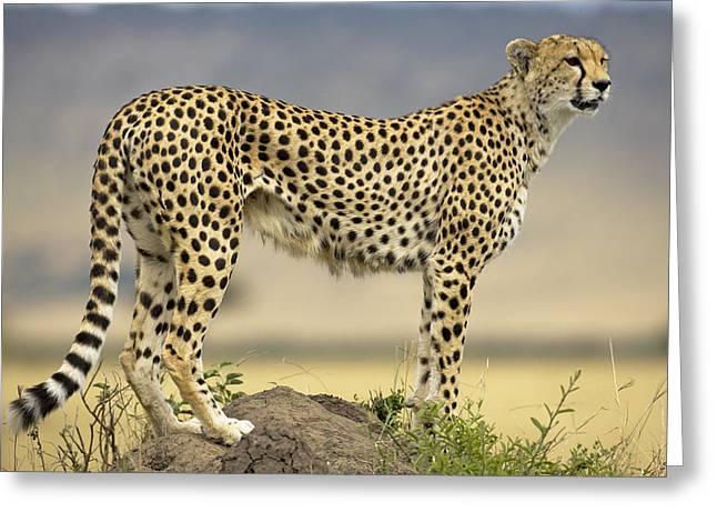 Cheetah Photographs Greeting Cards - Cheetah Acinonyx Jubatus On Termite Greeting Card by Winfried Wisniewski