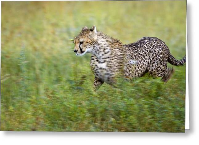 African Heritage Greeting Cards - Cheetah Acinonyx Jubatus, Running Greeting Card by Carson Ganci