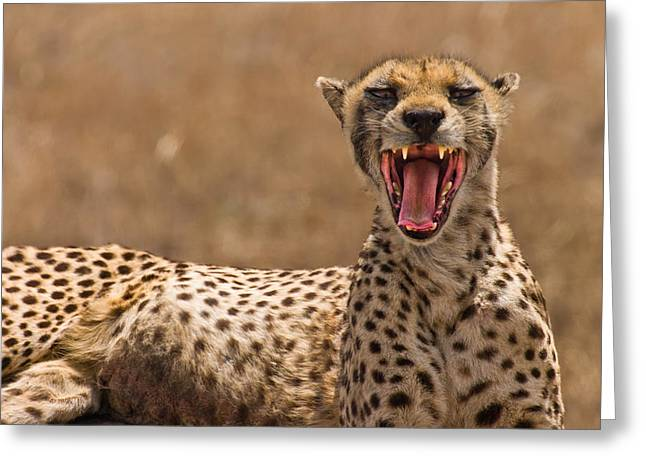 Kid Photographs Greeting Cards - Cheetah Greeting Card by Adam Romanowicz