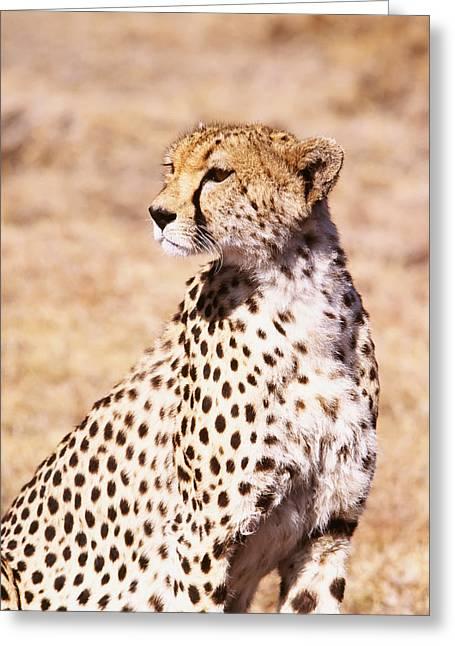 Savannah Photography Greeting Cards - Cheetah In Maasai Mara Game Reserve Greeting Card by Axiom Photographic
