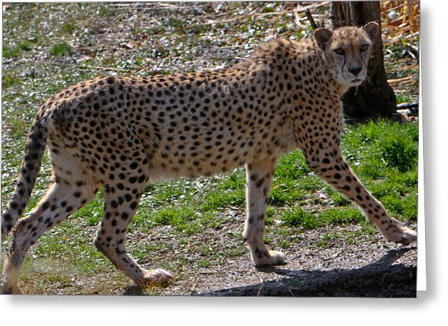 Cheetah Hunting Greeting Cards - Cheetah on the Move Greeting Card by Douglas Barnett