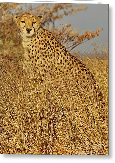 Cheetah Hunting Greeting Cards - Cheetah on Watch Greeting Card by Tom Cheatham