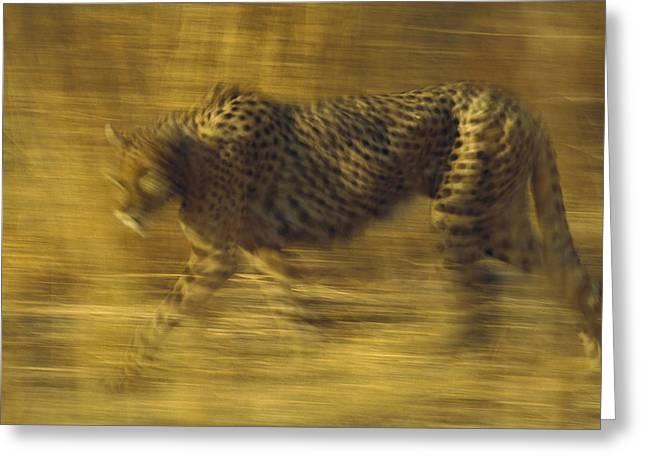 Cheetah Running Greeting Cards - Cheetah Running Through Dry Grass Greeting Card by Tim Fitzharris