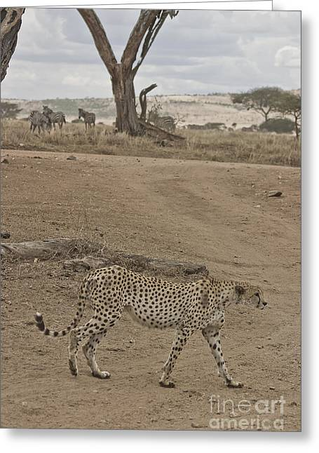 Serengeti Animal Greeting Cards - Cheetah Walks by On Looking Zebra Greeting Card by Darcy Michaelchuk