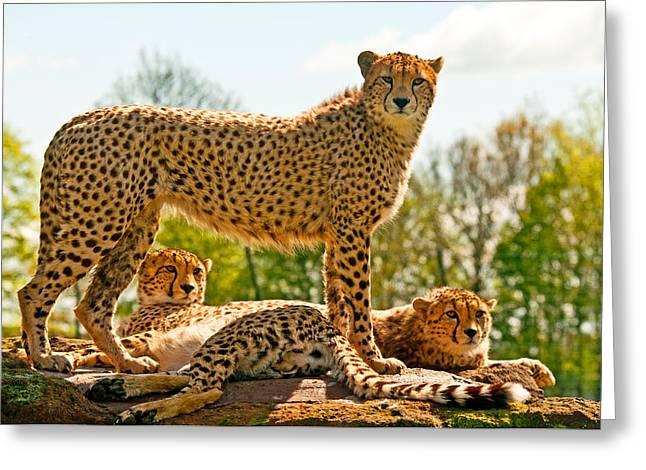 Cheetah Photographs Greeting Cards - Cheetahs Three Greeting Card by Chris Thaxter