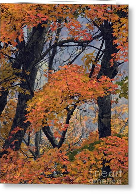 Orange County North Carolina Greeting Cards - Cherohala Maple - D007676 Greeting Card by Daniel Dempster