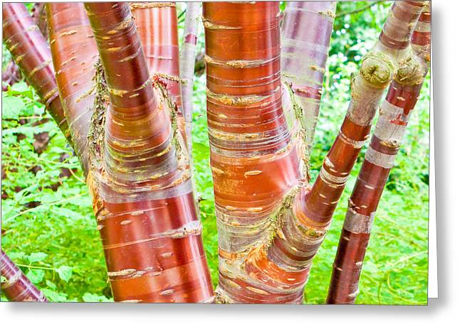 Bark Greeting Cards - Cherry birch tree Greeting Card by Tom Gowanlock