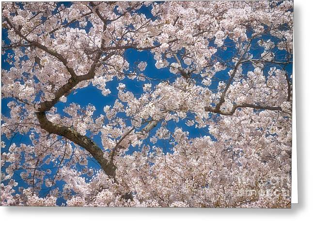 Cherry Blossom Branches Greeting Card by Susan Isakson