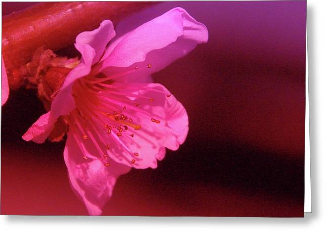 Arboretium Greeting Cards - Cherry Blossom Greeting Card by Jeff  Swan