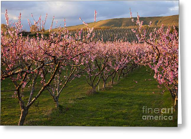Cherry Blossom Pink Greeting Card by Mike  Dawson