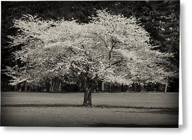 Ocean Black And White Prints Greeting Cards - Cherry Blossom Tree - Ocean County Park Greeting Card by Angie Tirado