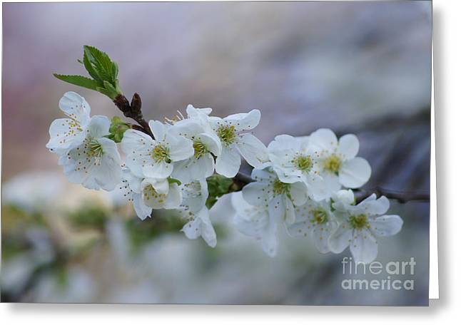 Reflections Of Infinity Llc Greeting Cards - Cherry Blossoms 1 Greeting Card by Robert E Alter Reflections of Infinity