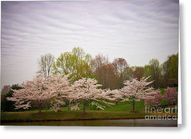 Cherry Blossoms At Meadowlark Greeting Card by Susan Isakson