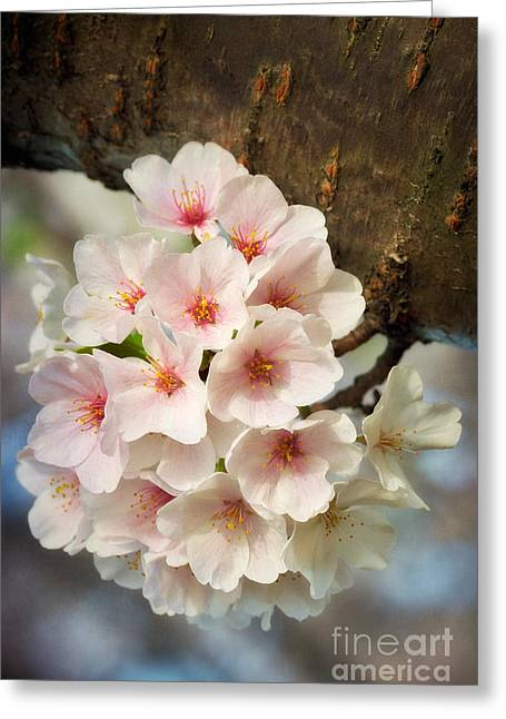Cherry Blossoms Close Up Five Greeting Card by Susan Isakson