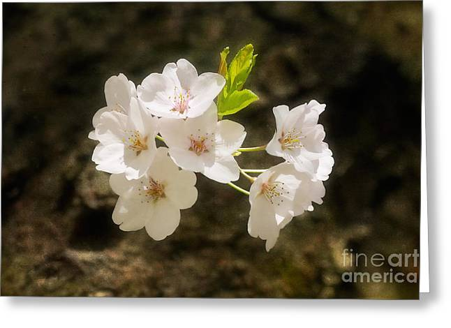 Cherry Blossoms Close Up Four Greeting Card by Susan Isakson