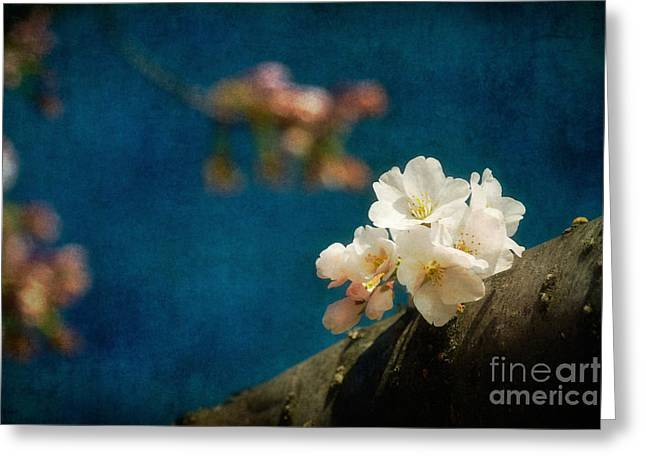 Cherry Blossoms Close Up Three Greeting Card by Susan Isakson