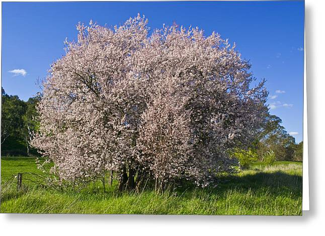 Lush Green Greeting Cards - Cherry Blossoms Erupt In Spring Amongst Greeting Card by Jason Edwards