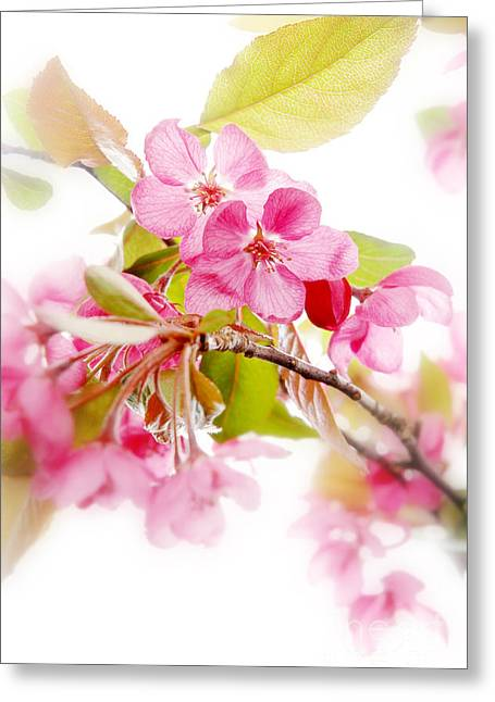 Close Focus Floral Greeting Cards - Cherry Blossoms Greeting Card by HD Connelly