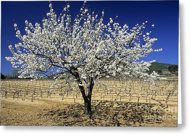 A Journey Greeting Cards - Cherry tree Greeting Card by Bernard Jaubert
